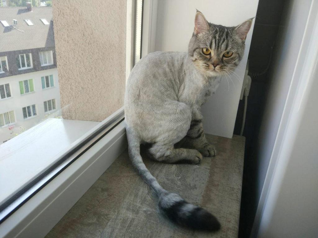 стрижка кота, груминг кота, груминг кота Харьков, груминг кошки