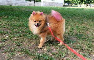 Окрашивание шерсти, покраска собаки, цветной шпиц